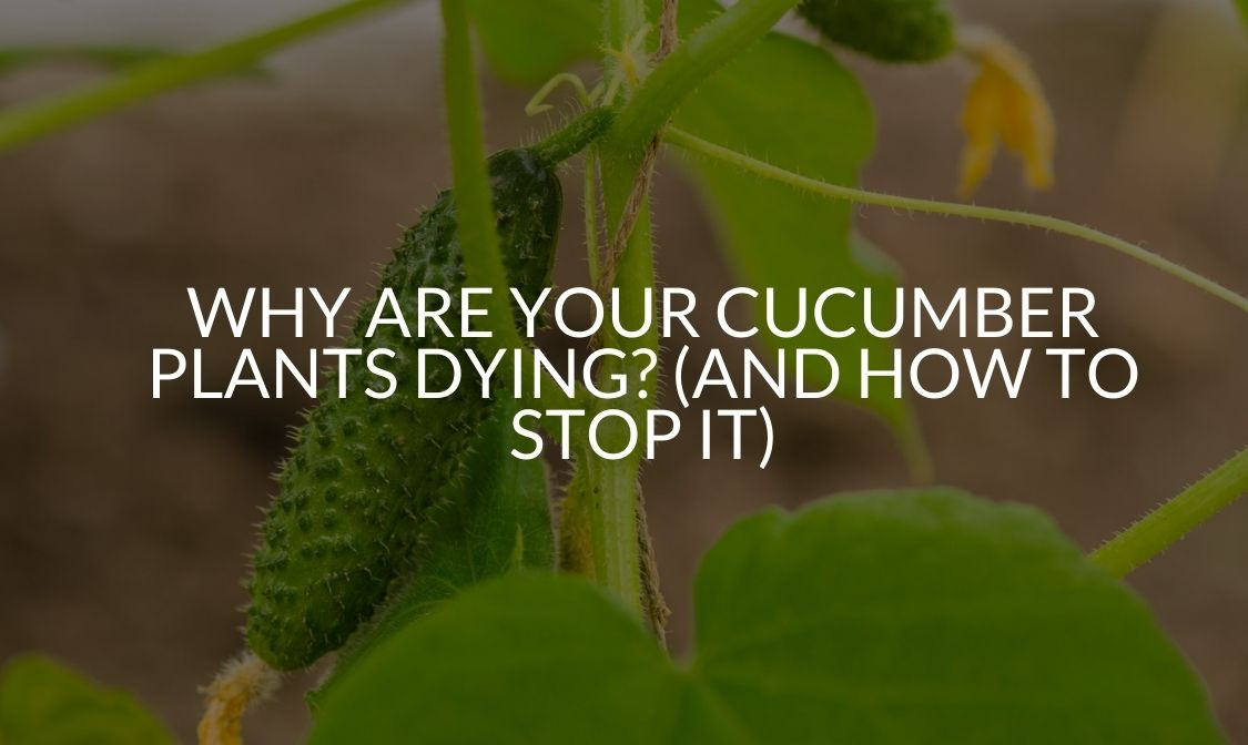 Why Are Your Cucumber Plants Dying (And How To Stop It)