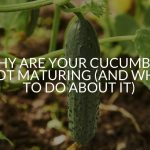 Why Are Your Cucumbers Not Maturing (And What To Do About It)